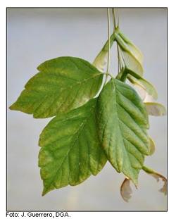 Arce de hojas de Fresno