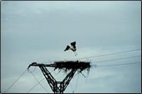 Nido de cigüeña sobre poste eléctrico